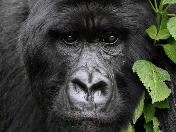 Trek the Gorillas of Uganda